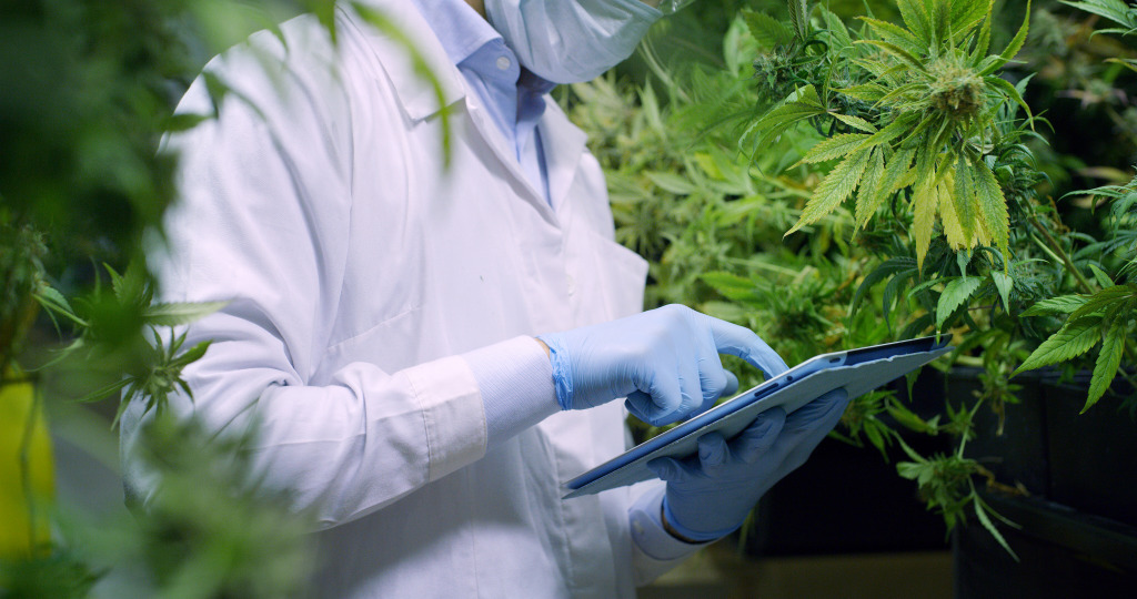 A scientist checks cannabis plants in a greenhouse. The opportunities for producing legal cannabis in Africa are huge.