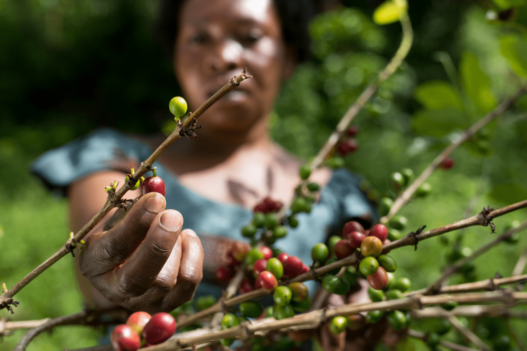 A grower inspects coffee beans in North Kivu.