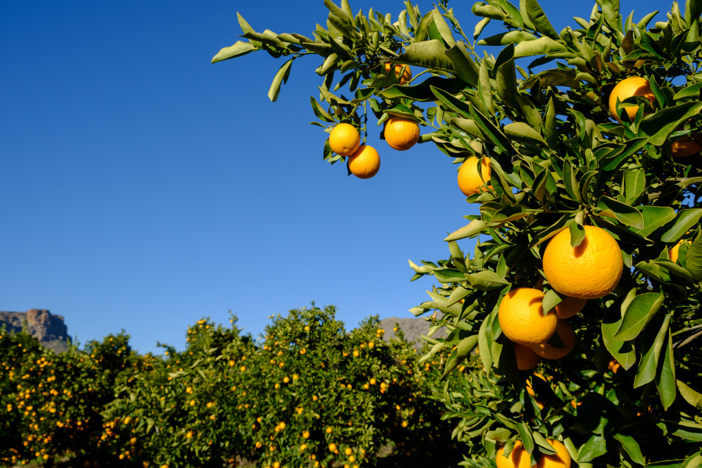 Oranges on trees in a citrus orchard in South Africa.